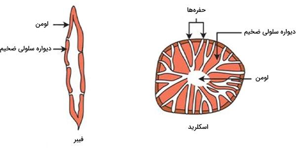 اسکلرید و فیبر