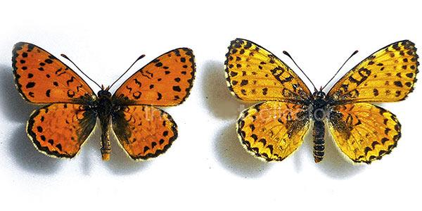پروانه ایرانی