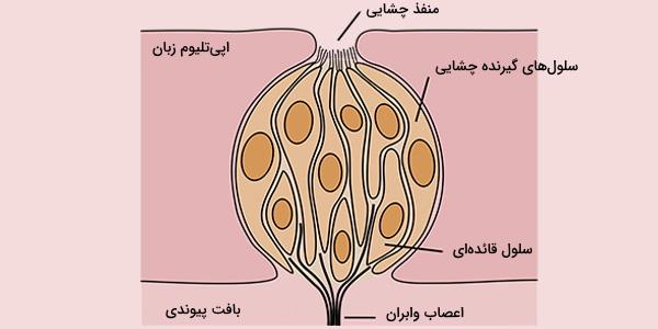 سلول های چشایی