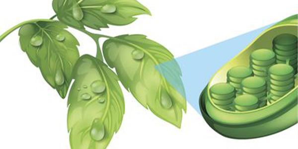 کلروفیل گیاهان