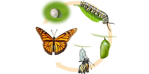 چرخه زندگی پروانه