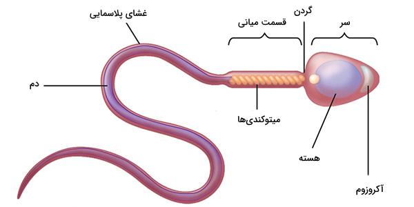 ساختار اسپرم