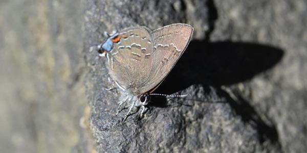 بال پروانه