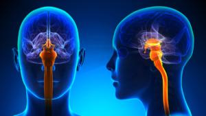 ساقه مغز چیست؟ | عملکرد، ساختار و کاربرد — به زبان ساده