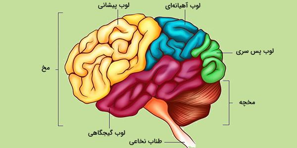 لوب های مغز