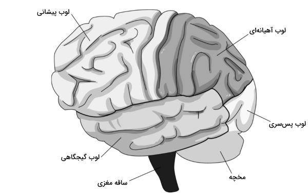 بررسی نقش مغز در تصمیمگیری در اقتصاد رفتاری