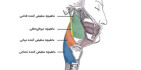 عضلات حلق