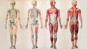 آناتومی بدن انسان | توضیح جز به جز و عکس آناتومی فارسی