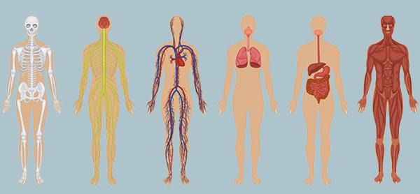 آناتومی بدن انسان عکس