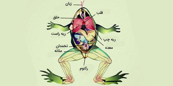 آناتومی قورباغه