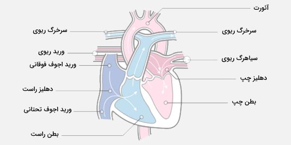آناتومی قلب