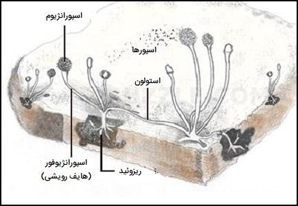 ساختار کپک