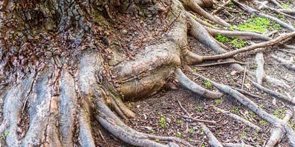 ریشه فیبروزی