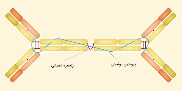 ساختار ایمونوگلوبولین a