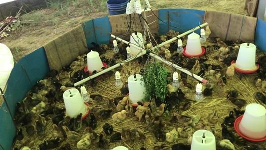 کاربرد مورینگا در صنعت