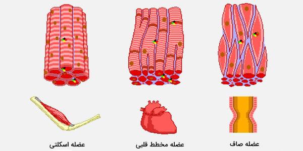 بافت عضلانی پستانداران
