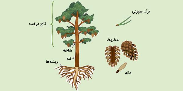مخروط گیاه