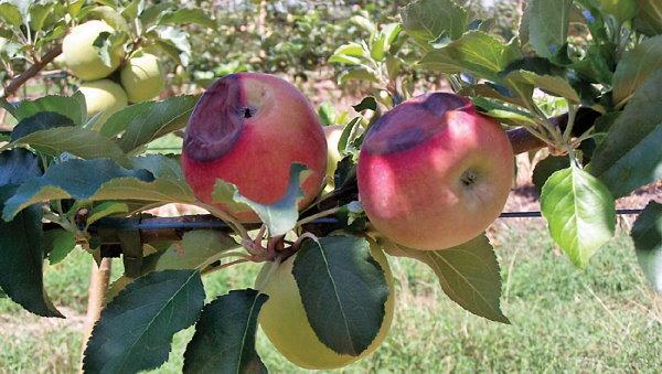 رسیدن سیب به عنوان حلقه بازخورد مثبت