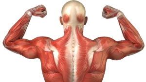 عضله چیست ؟   تعریف، کار و سایر دانستنی ها — به زبان ساده