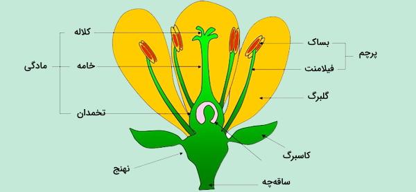 عکس ساختار گل