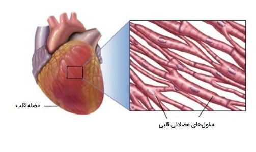 عکس ماهیچه قلبی