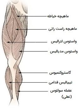 انواع ماهیچه های پا