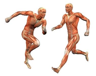 انواع ماهیچه اسکلتی بدن
