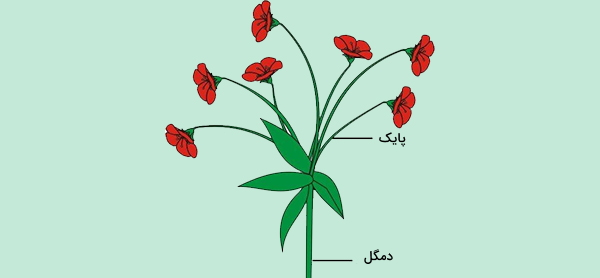 دم گل