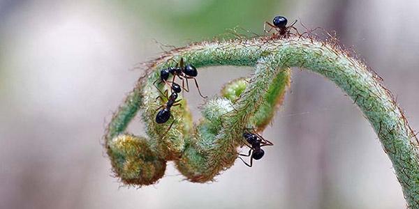 مورچه و سرخس