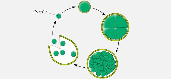 تولید مثل باکتری با بائوسیت