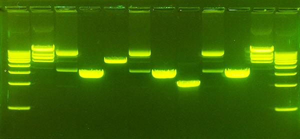 ژل الکتروفورز DNA