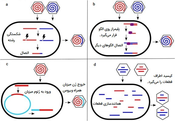 نوترکیبی در ویروس DNA دار