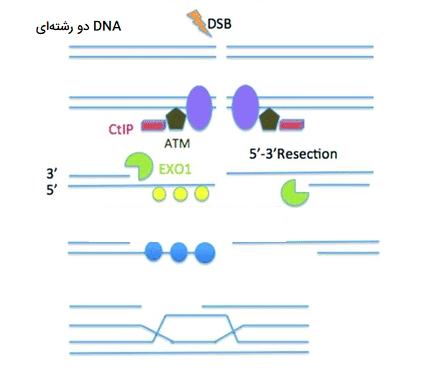 نوترکیبی در سلول ها