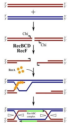 ترمیم دورشتهای در باکتریها