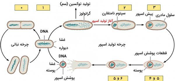 تولید اسپور باکتری
