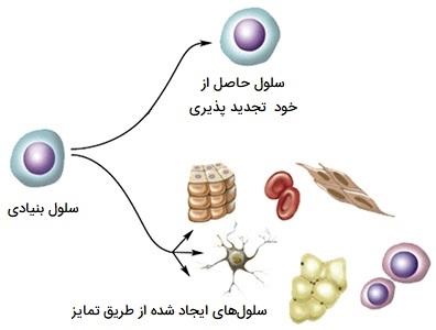 سلول های خود تجدید شونده