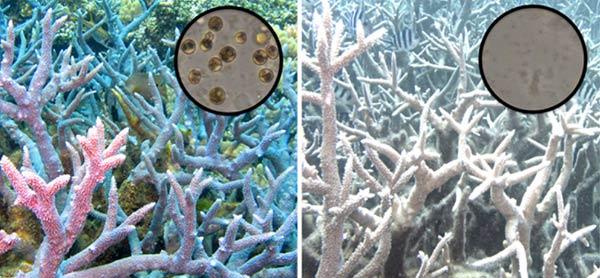 رنگدانه مرجان دریایی