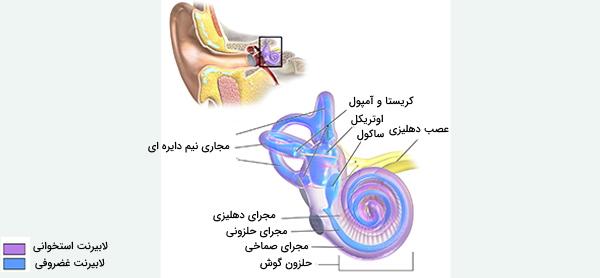گوش داخلی