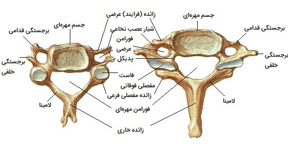 استخوان های مهره C3 تا C7