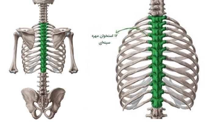 استخوانهای مهره سینه ای