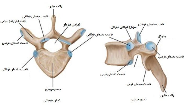 استخوان مهره سینهای